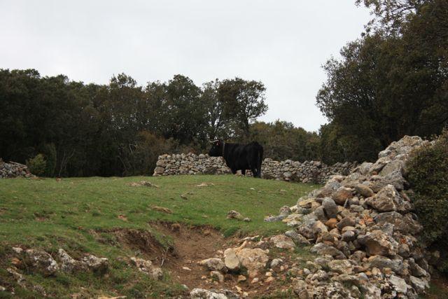 Vacas negras