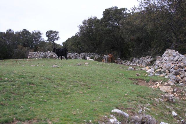 Vacas negras con terneros