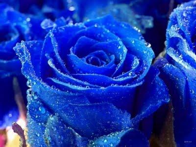 Rosa_Azul